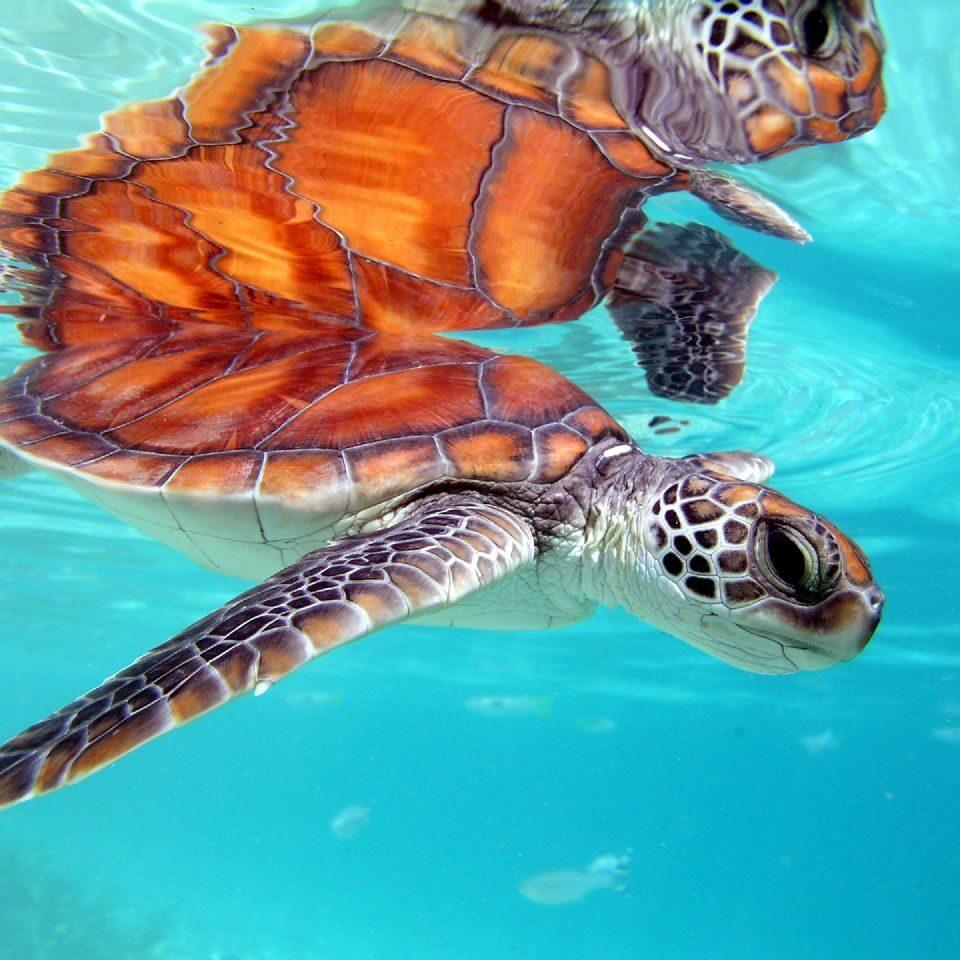 Imagen tortuga cozumel, punta sur cozumel, mar caribe mexicano, tortuga de carey cozumel