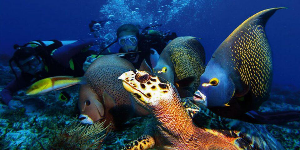 Tortuga marina, pez angel azul, buzos, buceo, mar caribe