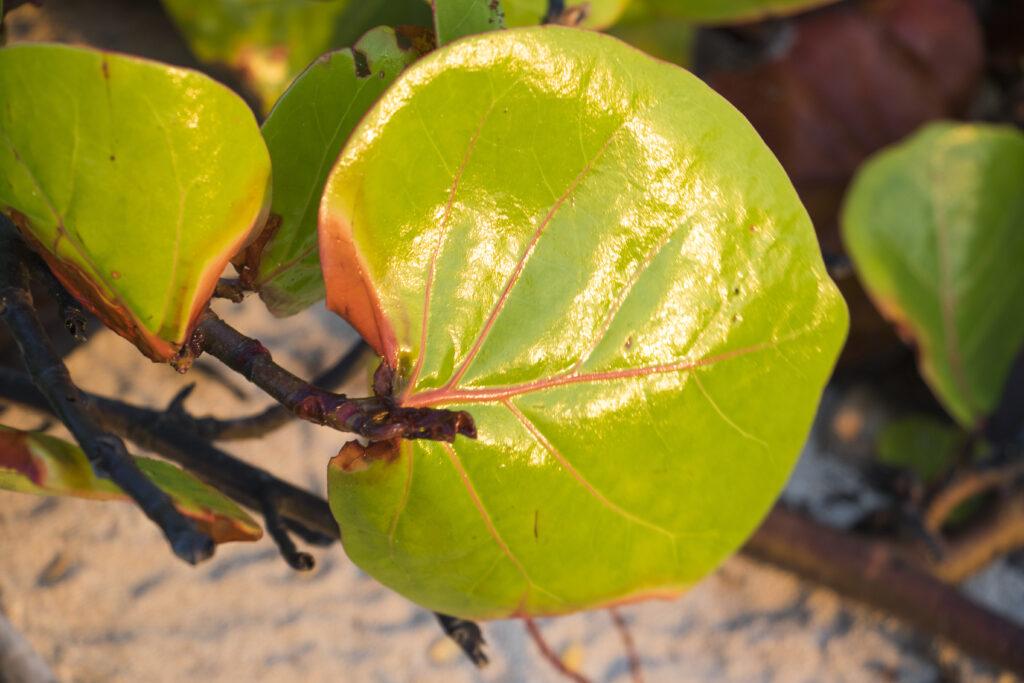 Reflejo de sol cozumel, Uva de Cozumel