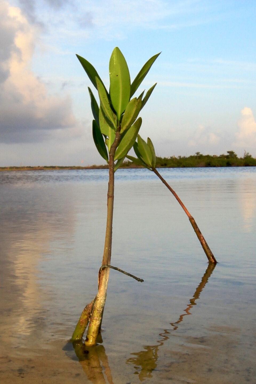 Manglar cozumel, flora cozumel, punta sur cozumel, laguna de fondo