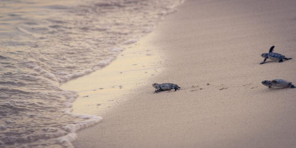 Tortuga cozumel, arrecifes de cozumel, fauna cozumel, arena, playa cozumel