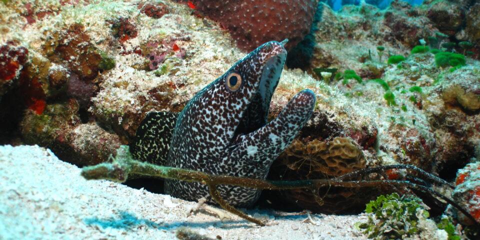 Morena manchada Cozumel, arrecife cozumel, corales, esponjas de mar cozumel