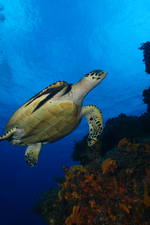 Tortuga cozumel, arrecife cozumel, mar caribe mexicano, arrecife tormentos cozumel