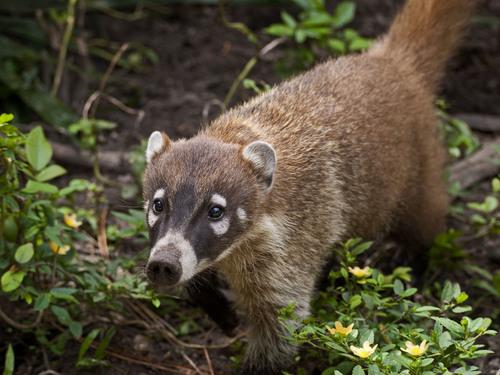 Imagen de coatí en cozumel, fauna cozumel, vegetación, selva cozumel