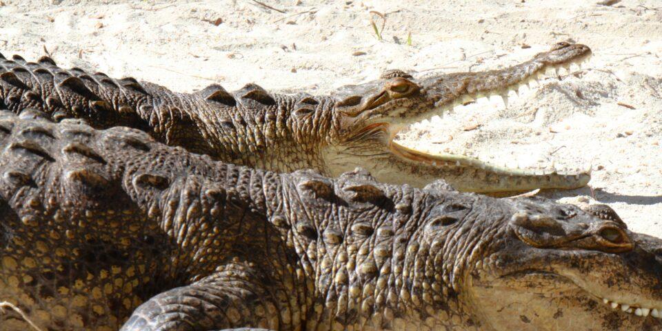 Imagen de cocodrilo cozumel, fauna cozumel, arena