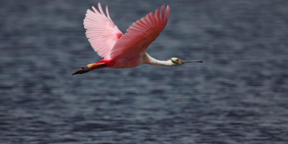 Imagen fauna de cozumel, ave espátula rosa