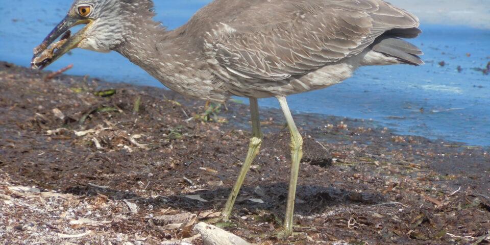 Imagen fauna cozumel, playa, aves cozumel, arena