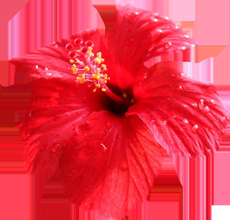 hibiscus cozumel