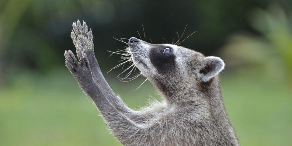 Imagen mapache enano cozumeleño, procyon pigmaeus, mapache